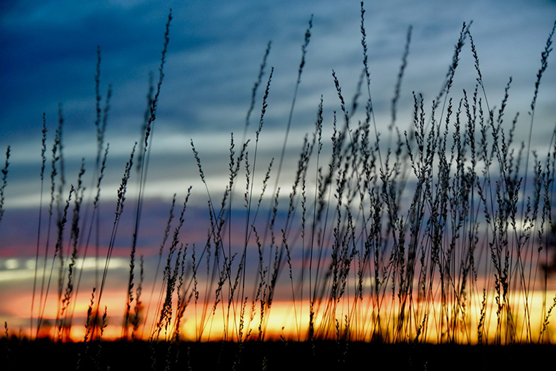 Spinifex at sunset, by Helen Commens-Kidd